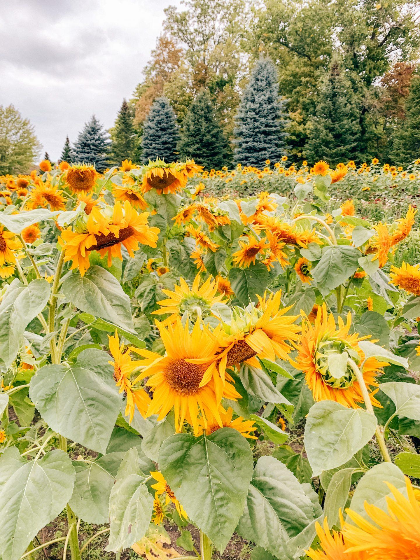 sunflower fields michigan